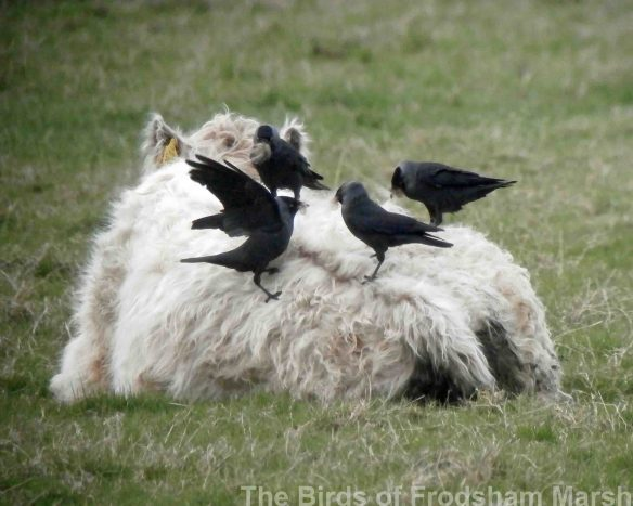 22.04.14. Jackdaws collecting fur from a cow's back on No.5 tank, Frodsham Marsh. Bill Morton