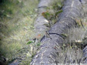 22.04.14. Wheatear along the pipes on No.1 tank, Frodsham Marsh. Bill Morton