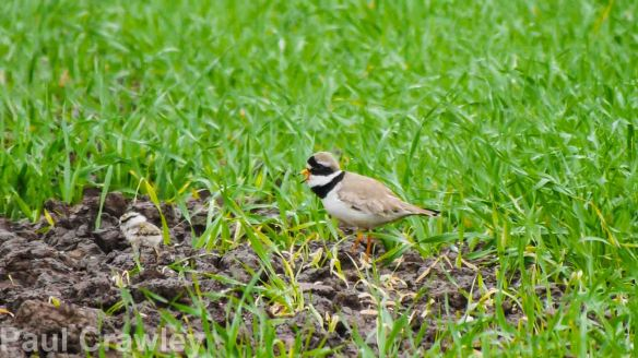 24.05.14. Ringed Plover, Frodsham Marsh. Paul Crawley