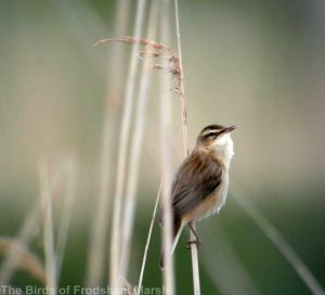 10.05.14. Sedge Warbler, Frodsham Marsh. Bill Morton