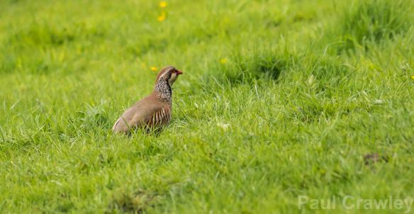 05.05.14. Red-legged Partridge, Frodsham Marsh. Paul Crawley