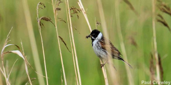 25. 05. 14. Reed Bunting, Frodsham Marsh. Paul Crawley