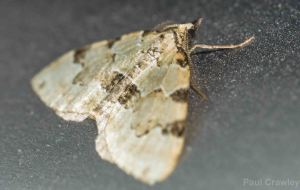 25.05.14. Green Carpet Moth, Frodsham Marsh. Paul Crawley