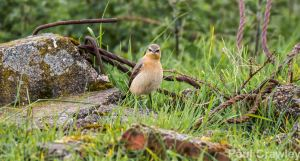 12.05.14. Wheatear, Marsh Farm, Frodsham Marsh. Paul Crawley