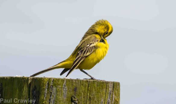 26.05.14. Yellow Wagtail, Frodsham Marsh. Paul Crawley