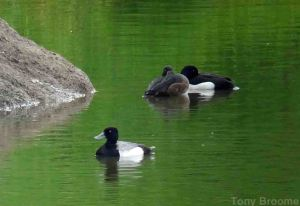 30.05.14. Lesser Scaup, No.6 tank, Frodsham Marsh. Tony Broome