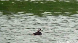 30.05.14. Red-necked Grebe, River Weaver, Frodsham Marsh. Tony Broome
