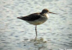 31.05.14. Greenshank, no.6 tank, frodsham Marsh. Tony Broome