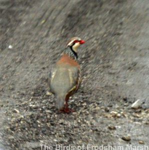 29.05.14. Red-legged Partridge, frodsham Marsh. Bill Morton