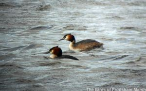 09.05.14. Great Crested Grebe, Weaver estuary, Frodsham Marsh. Bill Morton