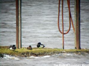 19.05.14. Tufted ducks, Weaver estuary, Frodsham Marsh. Bill Morton
