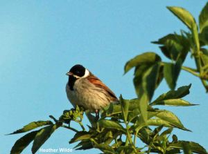 05.05.14. Reed Bunting (male), Frodsham Marsh. Heather Wilde