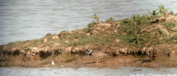 15.05.14. Ringed Plover, Shooters Pools, Frodsham Marsh. Bill Morton