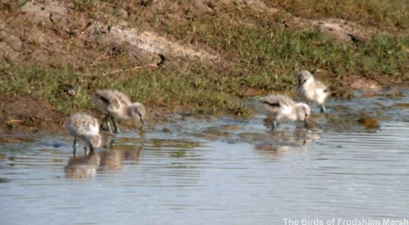 15.05.14. Avocet chicks, Frodsham Marsh. Bill Morton