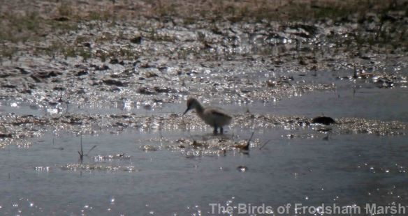 19.05.14. Avocet chick, Shooter' pools, Frodsham Marsh. Bill Morton