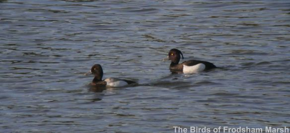 26.05.14. Lesser Scaup and Tufted Duck, No.6 tank, Frodsham Marsh. Bill Morton