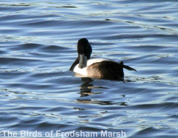 26.05.14. Lesser Scaup, No.6 tank, Frodsham Marsh. Bill Morton