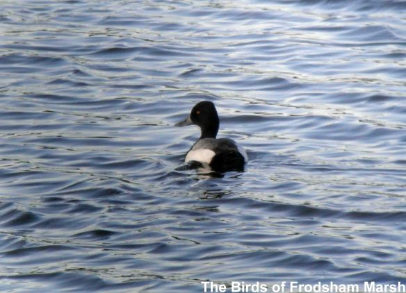 26.05.14. Lesser Scaup (drake), No.6 tank, Frodsham Marsh. Bill Morton