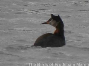 27.05.14. Red-necked Grebe, Frodsham Marsh. Bill Morton