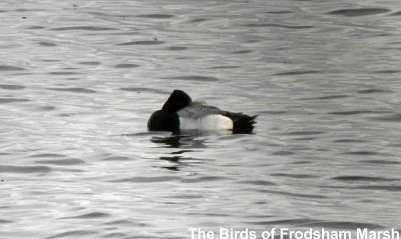 27.05.14. Lesser Scaup, No.6 tank, Frodsham Marsh. Bill Morton
