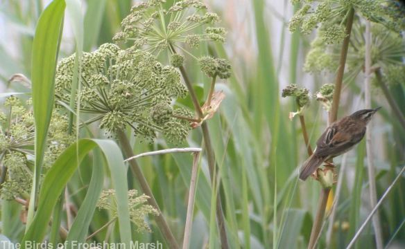 31.05.14. Sedge Warbler, River Weaver at Frodsham Marsh. Bill Morton