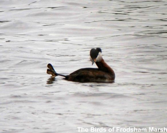 31.05.14. Red-necked Grebe (summer plumage), Weaver Causeway, Frodsham Marsh. Bill Morton