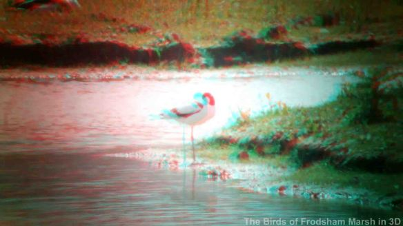 31.05.14. Avocet in 3D, Shooters' pools, Frodsham Marsh. Bill Morton