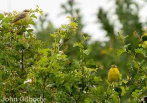 27.05.14. Yellow Wagtails, Lordship Lane, Frodsham Marsh. John Gilbody