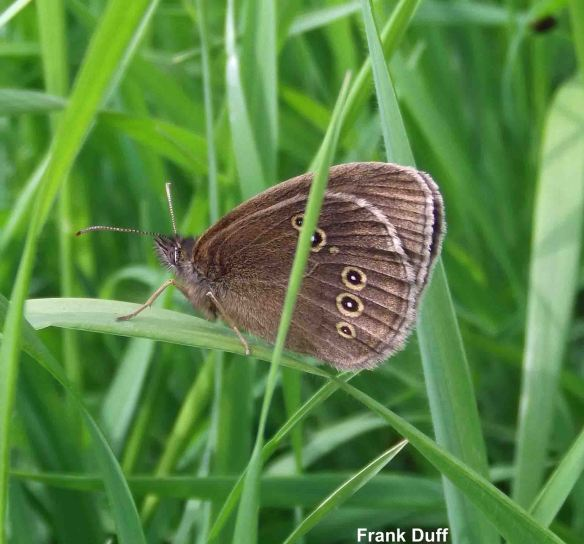 14.06.14. Common Bllue Butterfly, Frodsham Marsh. Frank Duff
