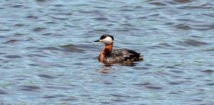 Red-necked Grebe by Paul Crawley