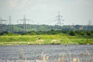 31.05.14. Marsh Harrier (male), River Weaver, Frodsham Marsh. Bill Morton