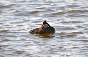 23.06.14. Red-necked Grebe, River Weaver, Frodsham Marsh. Bill Morton