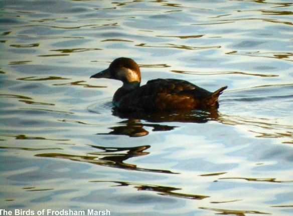 05.06.14. Common Scoter female), No.6 tank, Frodsham Marsh. Bill Morton