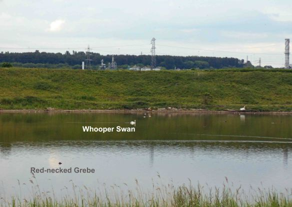 09.06.14. Red-necked Grebe and Whooper Swan, River Weaver at Frodsham Marsh. Bill Morton