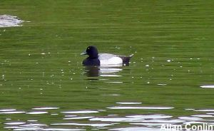 lesser scaup 2 copy
