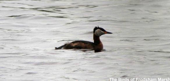 31.05.14. Red-necked Grebe, Frodsham Marsh. Bill Morton