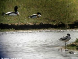 31.05.14. Avocet and Shelduck, Shooters' pools, Frodsham Marsh. Bill Morton