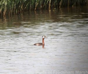 31.05.14. Red-necked Grebe from Redwall Reedbed, Frodsham Marsh. Brian Burnett