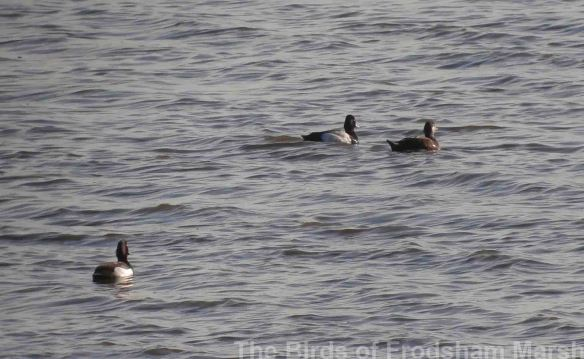 05.06.14. Tufted Duck, Lesser Scaup and Common Scoter (female), No.6 tank, Frodsham Marsh. Bill Morton