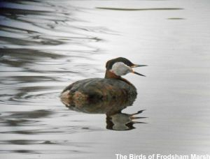 09.06.14. Red-necked Grebe, River Weaver at Frodsham Marsh. Bill Morton