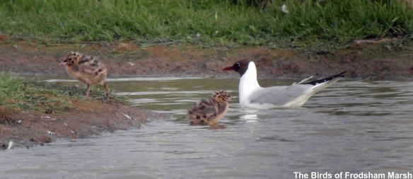 16.06.14. Black-headed Gull with chicks, Shooters' pools,  Frodsham Marsh. Bill Morton