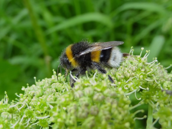PHOTO 12 - White-tailed Bumblebee FM May30th14 6135