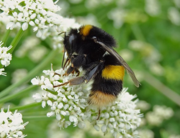 PHOTO 13 - Buff-tailed Bumblebee FM May30th14 6202