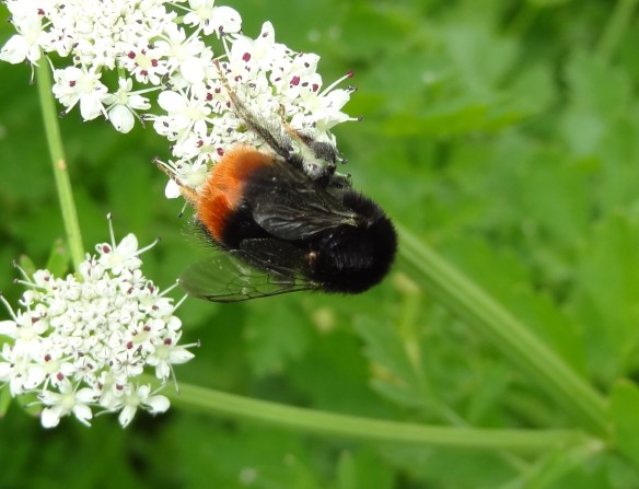 PHOTO 14 - Red-tailed Bumblebee FM May30th 14 6158