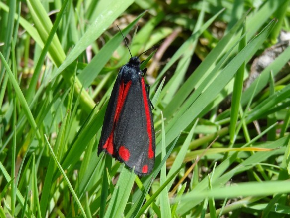 PHOTO 15 Cinnabar Moth FM May31st14 6289 (1280x960)