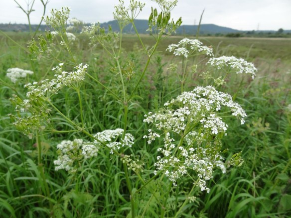 PHOTO 2 Cow Parsley FM May30th14 5972 (1280x960)