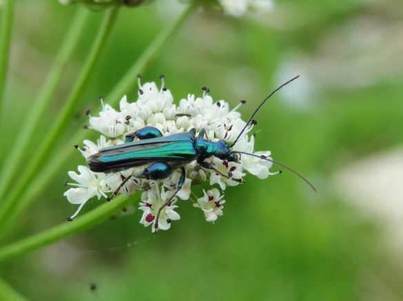 PHOTO 25 Oedemera nobilis FM May 30th 14 6147