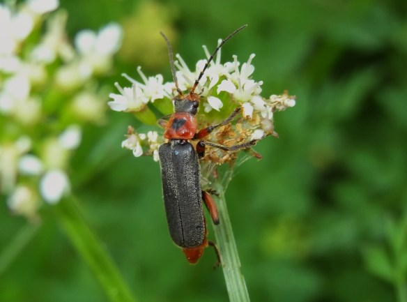 PHOTO 27 Soldier Beetle Cantharis rustica FM May30th146121