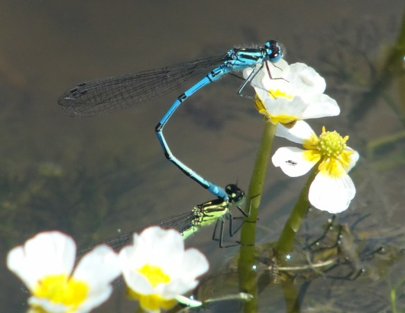 PHOTO 7 Azure Damselfly Coenagrion puella FM May31st14 6284