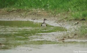 28.07.14 . Green Sandpiper, Shooters' Pools, Frodsham Marsh.Tony Broome